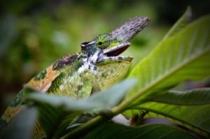 Chameleon2horn