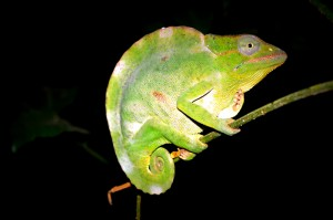 ChameleonNightWalk
