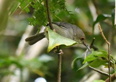 Tailor Bird A