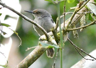 Tailor Bird B