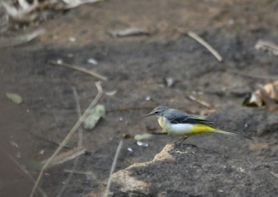 Grey Headed Wagtail A