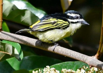 Yellow Rumped Tinker Bird A