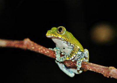 Marc Pretty Frog
