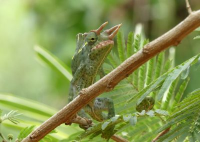 Three Horn Chameleon