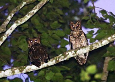 Usambara-Eagle-Owl